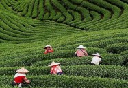 The Masters of Tea