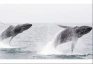 Whales: The Wild, Wild East