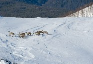 Their Land: Last of the Caribou Herd