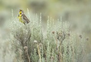 Birds of the Okanagan: A Vanishing Legacy