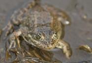 Precious Frog: Symbol of a Vanishing Wetland