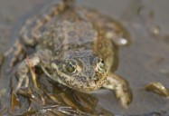 Precious Frog: Symbol of a Vanishing Wetland
