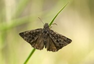 Dance of the Propertius Duskywing: A Butterfly on the Brink