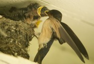 Plight of the Barn Swallow
