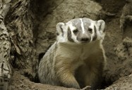 Badgers of 100 Mile