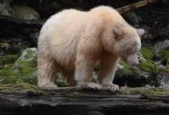 L'ours noir et l'ours esprit (The Black Bear and The Spirit Bear): L' Esprit des Ours (The Spirit of the Bears)