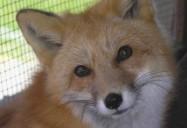 Outfoxed: Hope for Wildlife - Season 1