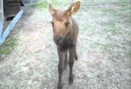 Ester the Moose: Hope for Wildlife - Season 1