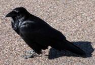 Murder of Crows: Hope for Wildlife - Season 2