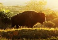 Buffalo: Coyote's Crazy Smart Science Show (Season 2, Ep. 9)