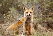Foxes: The Wild, Wild East