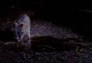 Infestation - Sea Lions, Rats, Bats: Animal Empires Series