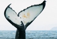 Revival of the Humpback Whales: Coastal Revival Series