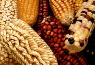 Maize - Ancient Grains: Nutritional Powerhouses Series