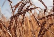 Spelt - Ancient Grains: Nutritional Powerhouses Series