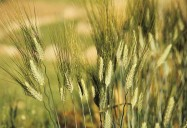 Kamut/Khorasan - Ancient Grains: Nutritional Powerhouses Series