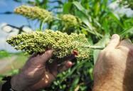 Sorghum - Ancient Grains: Nutritional Powerhouses Series