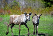 Tracking the Caribou: Woodland Caribou Series
