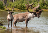 Sharing the Forest: Woodland Caribou Series