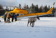 On the Heels of the Predators: Woodland Caribou Series