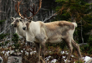 CSI to the Rescue: Woodland Caribou Series