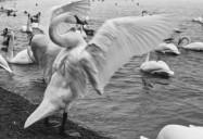 The Trumpeter Swan Returns