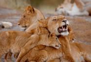 Big Cats of the Serengeti