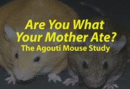 Are You What Your Mother Ate? The Agouti Mouse Study